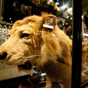 A lion in The Manchester Museum's Living Worlds gallery. c Ant Clausen