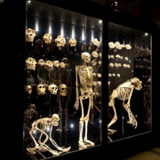 The Manchester Museum's Living Worlds gallery - Humans case - c Ant Clausen